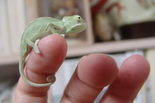 chameleon-276600_640